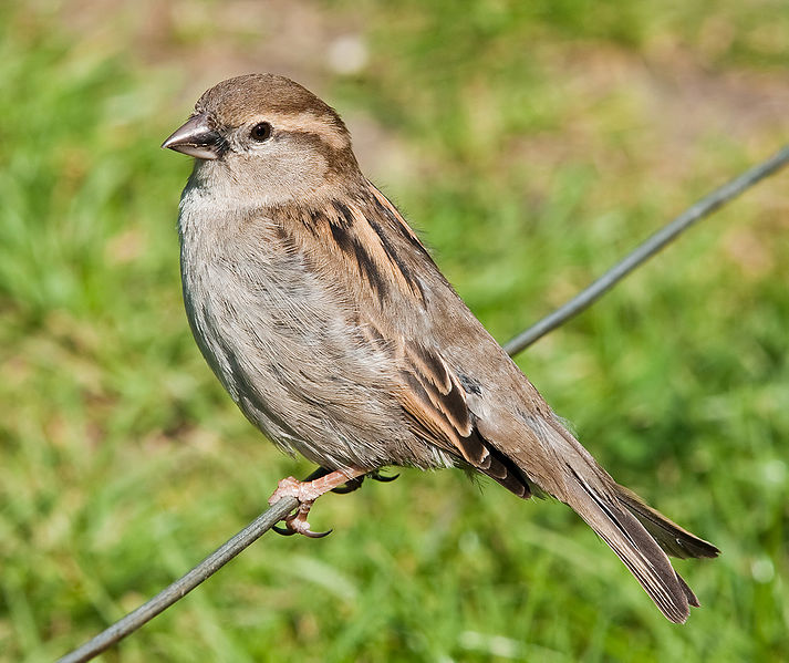 Bird Lovers: HOUSE SPARROW– DECLINING POPULATION