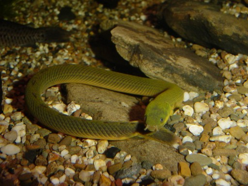 Fish Pictures: Reedfish - Erpetoichthys calabaricus
