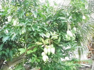 Agar Pohon Mangga Berbuah Lebat Mangga ku Berbuah Lebat
