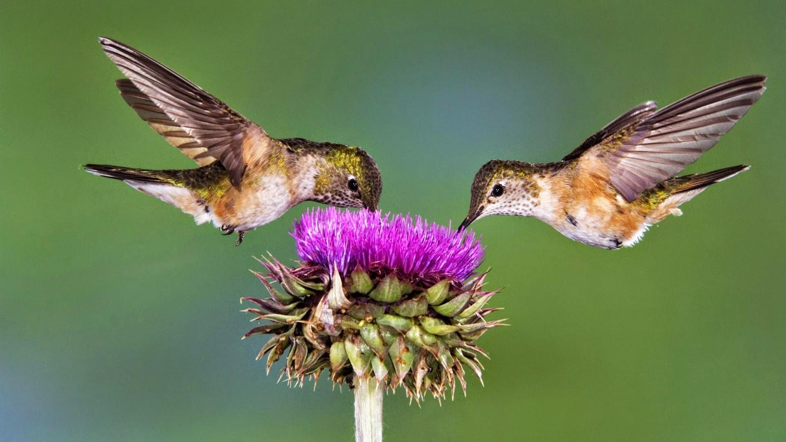 Resultado de imagen de El vuelo rápido del colibrí