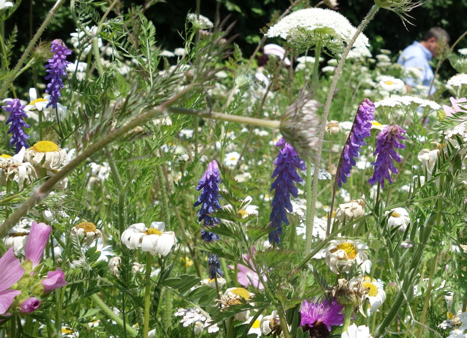 Urban pollinators what plants are flowering in our perennial meadows izmirmasajfo Images