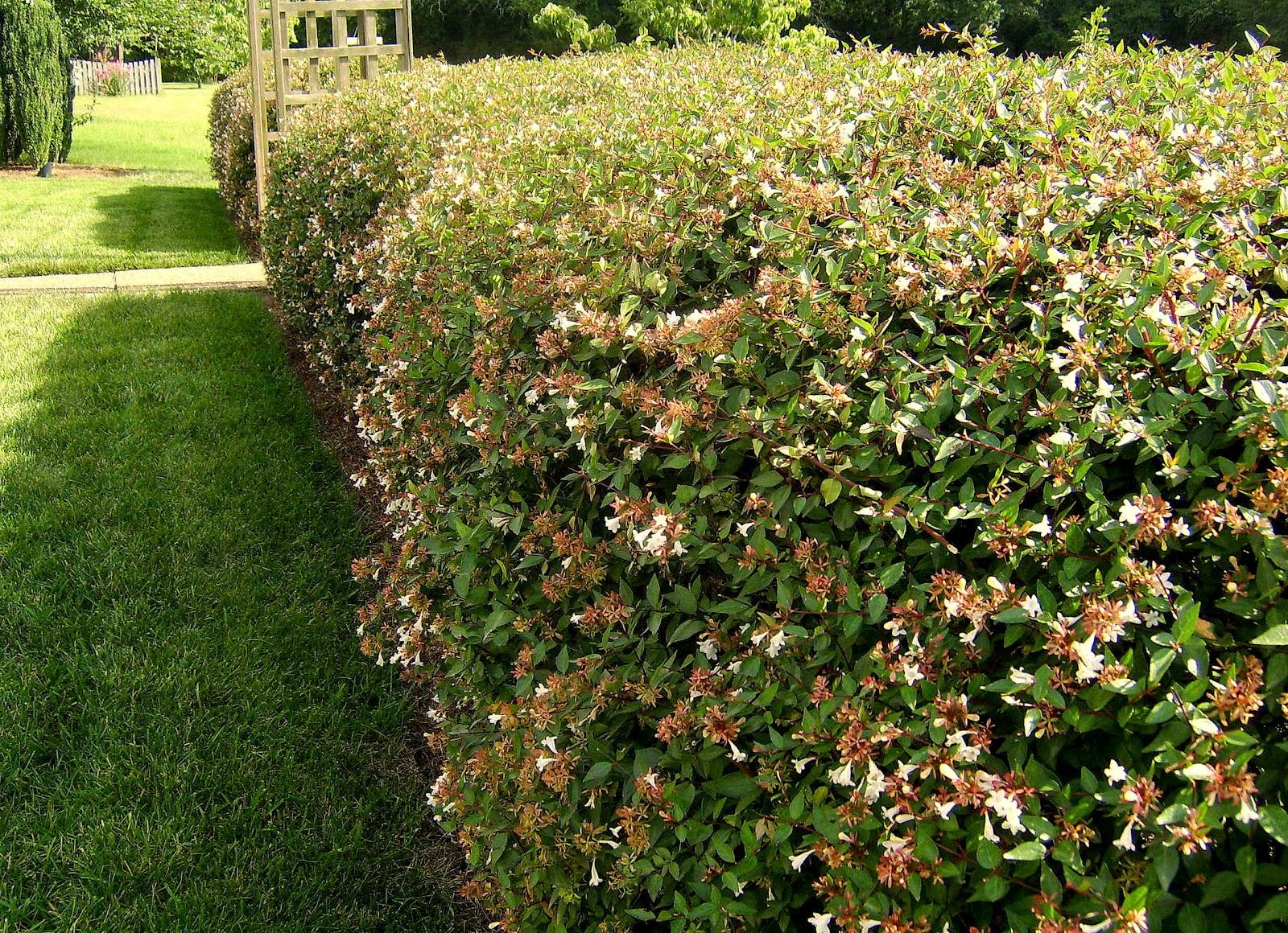 Il mondo in un giardino consigli per la potatura delle siepi for Siepe sempreverde