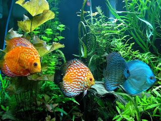 Memelihara ikan discus dalam aquascape