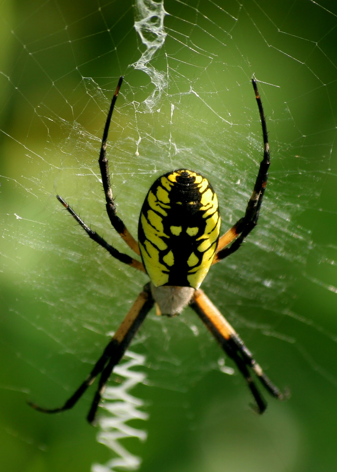Everyday is insane spiders i loves them for What does a garden spider look like
