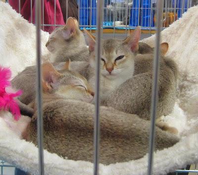 Informasi Tentang Kucing Singapura
