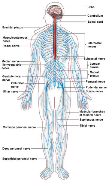 що не входить до складу кровоносної системи