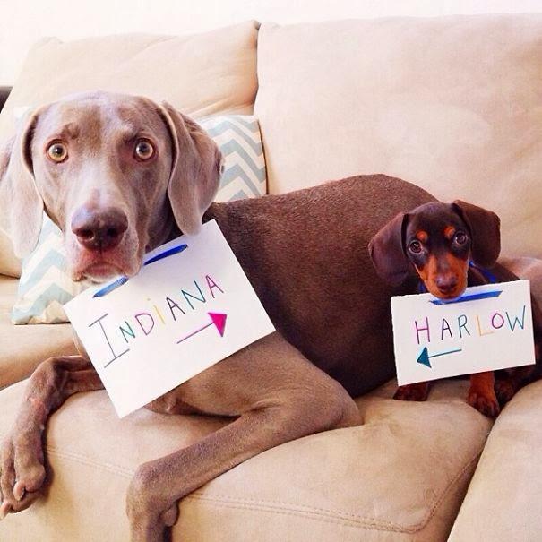 Estos perritos son los mejores amigos: Harlow e Indiana