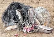 feral kitten eating a rabbit