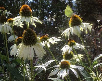 Nazomer bloeiers in de tuin van t Witte Voorhuus, overnachten te Zelhem
