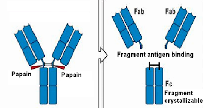 Proteolytic cleavage by Papain