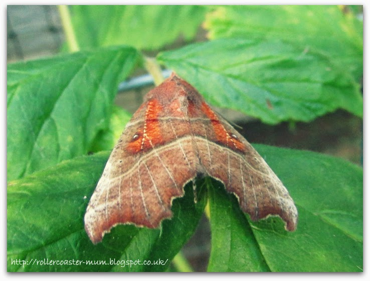 Scoliopteryx libatrix, Herald Moth