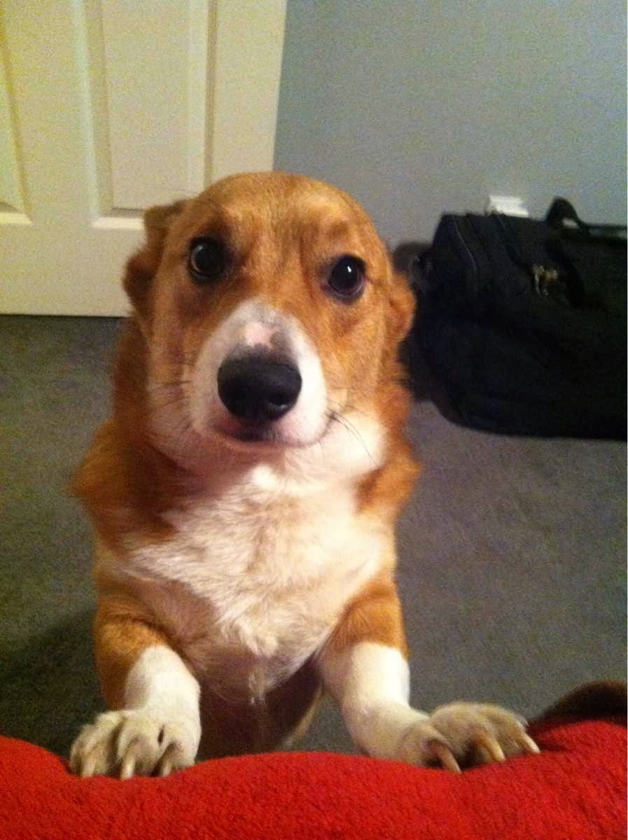 Cute dogs - part 4 (50 pics), dog pictures, concern corgi pup