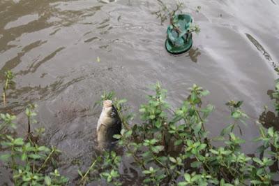 Umpan Ikan Mas Paling Jitu dan Ampuh