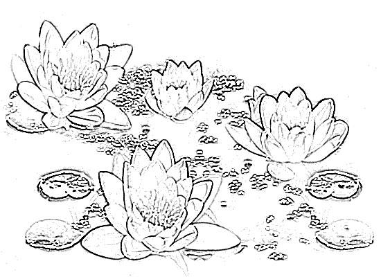 Sketch of Flower Lotus Drawing