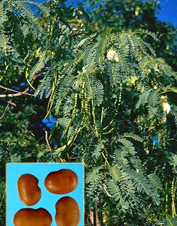 अगस्त पेड़ की ढांचागत संरचना