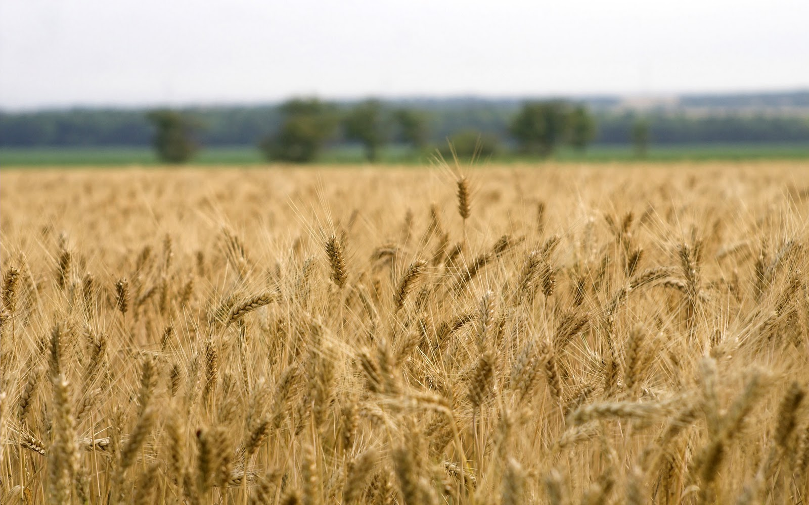 http://4.bp.blogspot.com/-SVrGLD7Uwgk/TvlVM9pF8fI/AAAAAAAAAls/I3Fvf6HJJVo/s1600/Wheat-Fields-Wallpapers-49.jpg