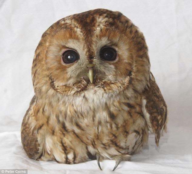 Lucky Owl survive ride on train in UK  Photo: Peter Corns