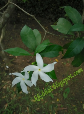Puja flowers and other things used in puja hindu worship a milky white small flower with five petals and a thin light green peduncle stem which is popularly known as tagar is widely used in flower offerings to mightylinksfo