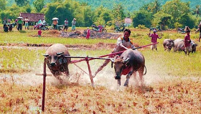 Barapan Kebo, Buffalo Racing in Sumbawa