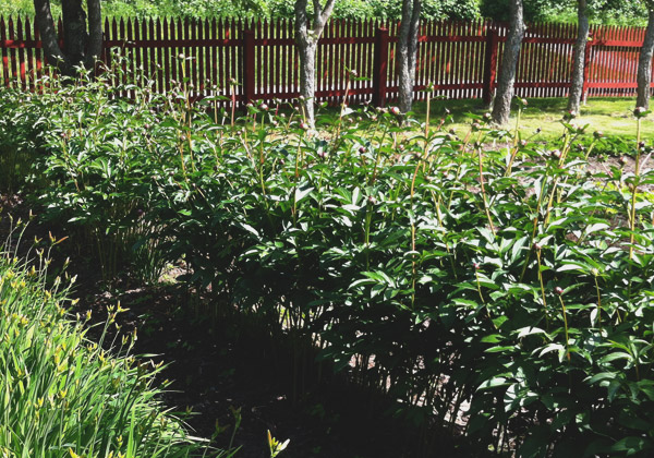 En lång pionplantering