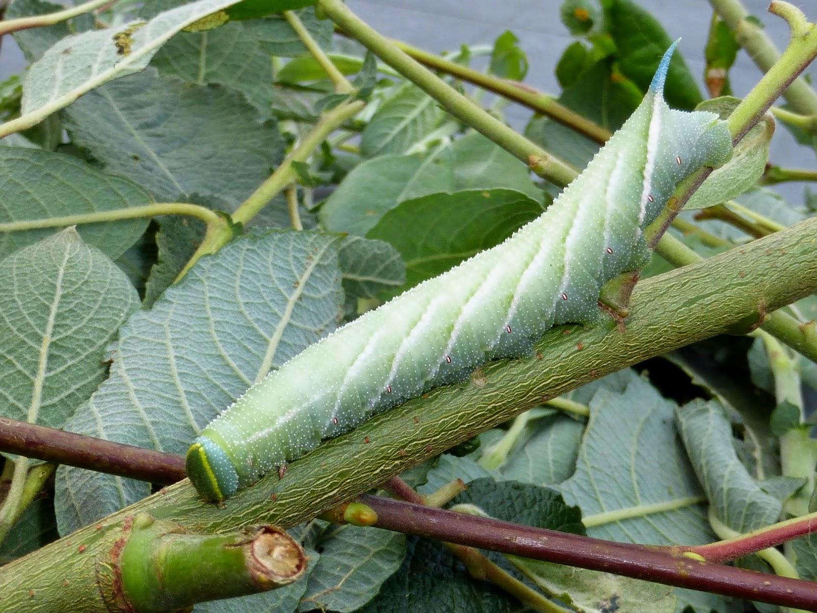 Smerinthus ocellata caterpillar L5
