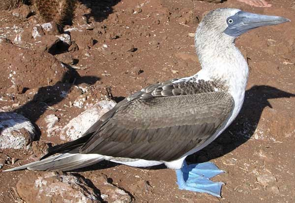 Blue-footed booby (Sula nebouxii) adult in the Galápagos Islands.