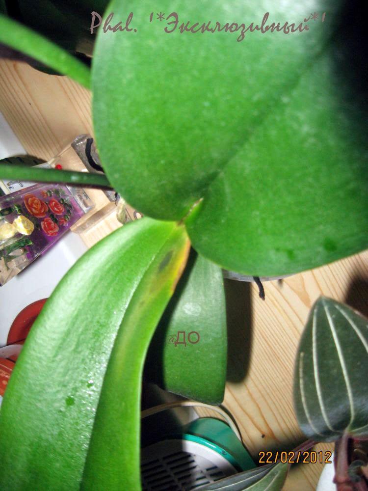 Сгнила точка роста фаленопсиса