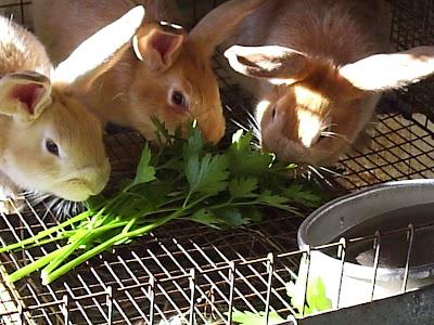 Cara Beternak Kelinci Untuk Pemula Bisnis Rumahan Modal Kecil