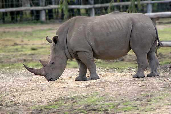 white rhino - photo #21