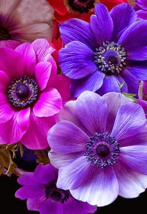 The nicest pictures anemone pink and purple flowers - Does blue and pink make purple ...