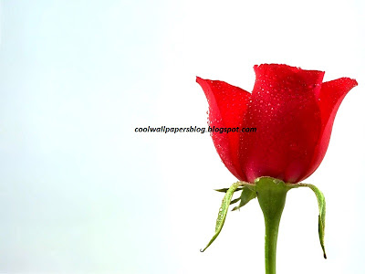 High Quality Rose Gifts by cool wallpapers at cool wallpapers and cool and beautiful wallpapers
