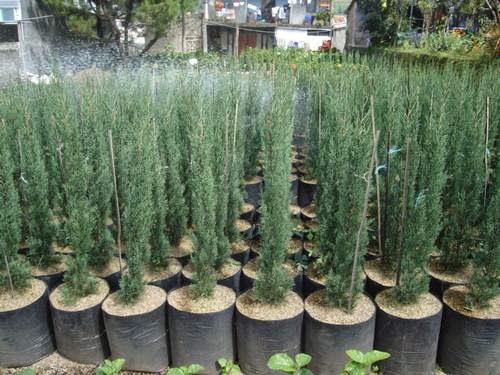 Jual Taman I Menjual berbagai macam tanaman hias & rumput gajah mini, cemara lillin | cemara udang