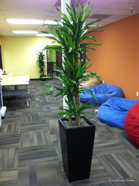 Everything grows new hip and hardy dracaena rikki - Hardy office plants ...