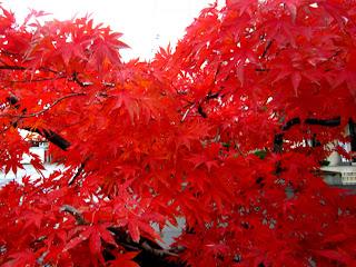 イロハモミジの鮮やかな赤