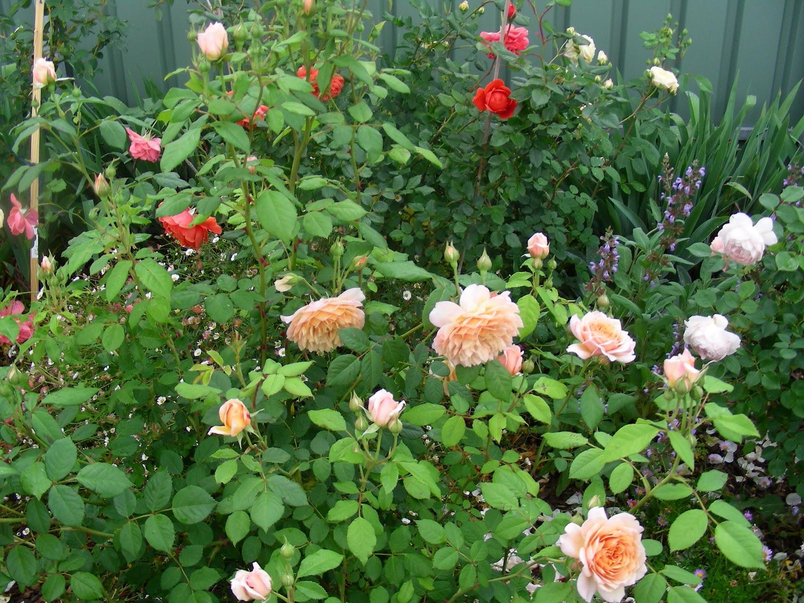 rose garden july 2012
