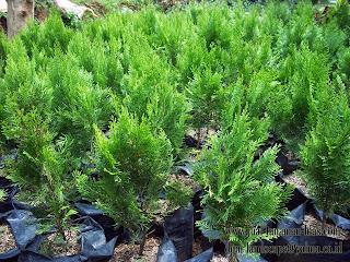 Jual Pohon Cemara Kipas atau Cemara Medan