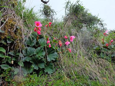 Begonia veitchii