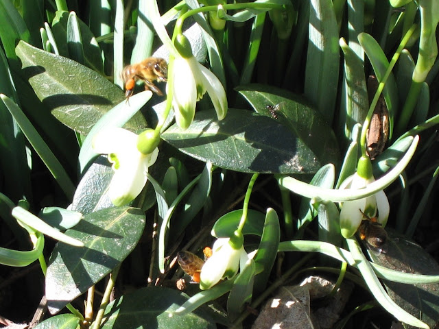 Bees with Snowdrop pollen