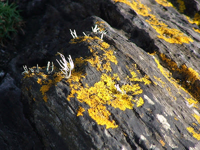 Yellow Scales (Xanthoria aureola or X. parietina)