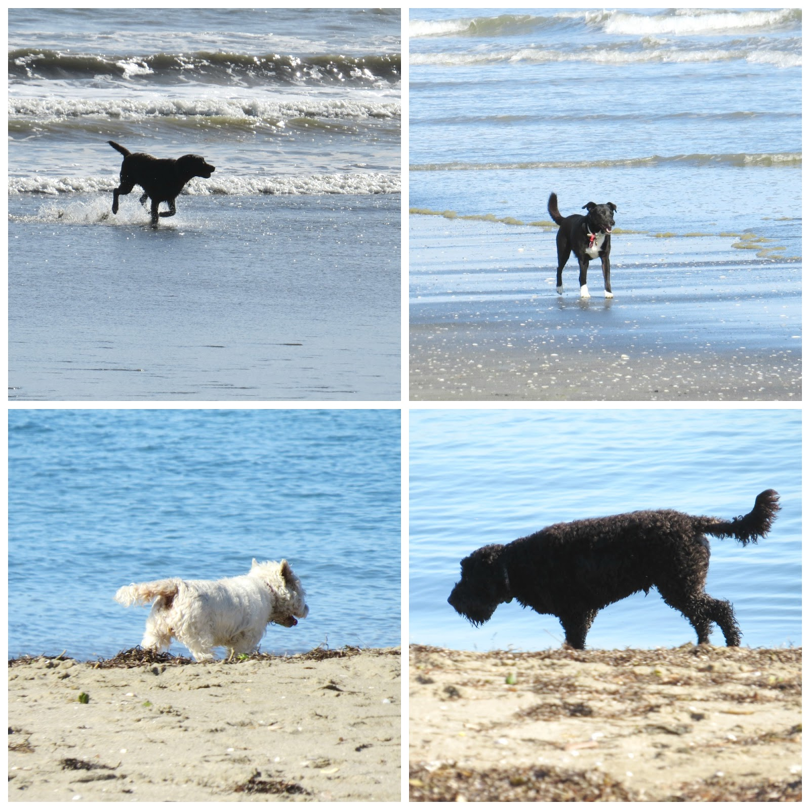 Dogs at the beach @ joceesfarm.blogspot.com
