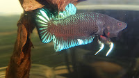 Ikan Cupang Adu Super Grade A