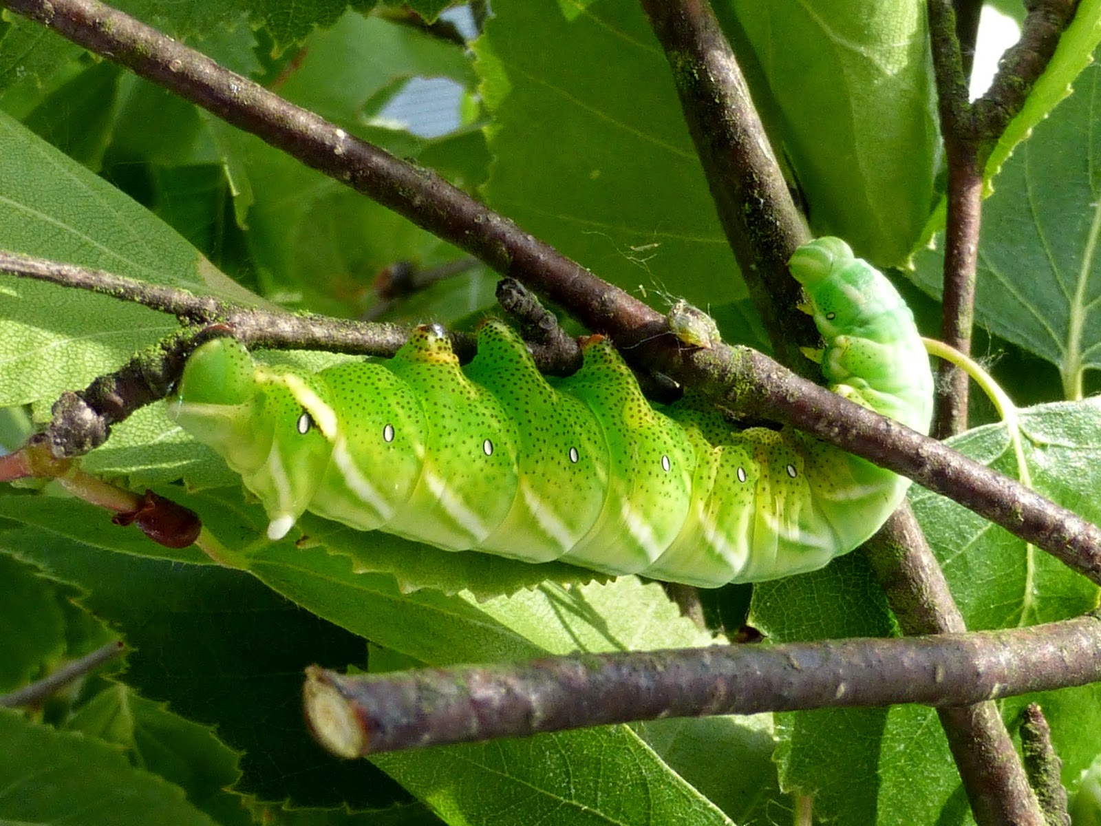 Endromis versicolora L5 caterpillar