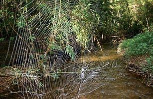 2010 十大新物種 - 4.達爾文吠蛛