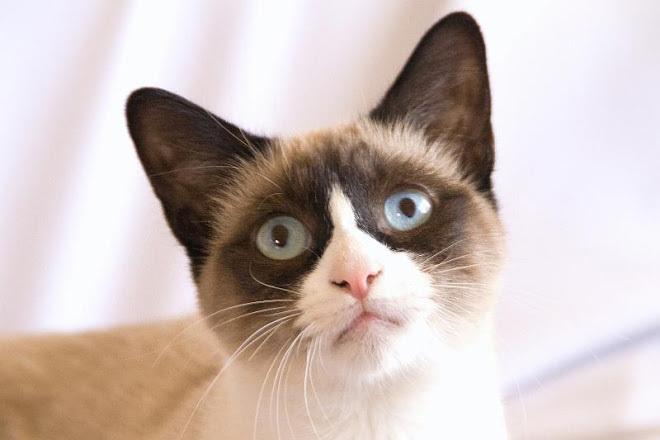 Meonginfo Jenis Kucing Snowshoe