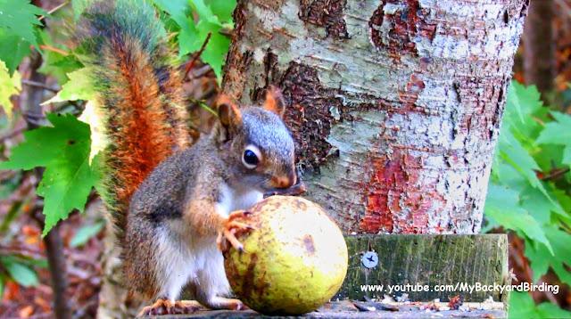 Red Squirrel Husks a Huge Black Walnut