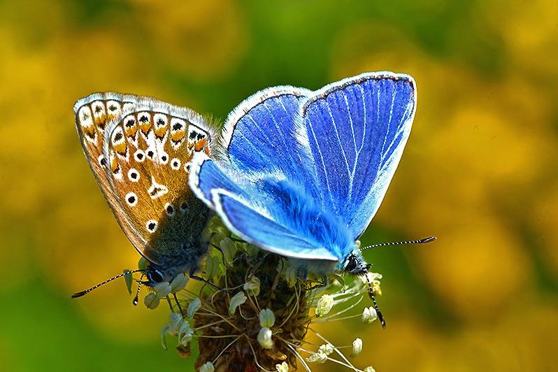 Tierfotos - Insekten - Schmetterlinge bei der Paarung - Hauhechel-Bläuling