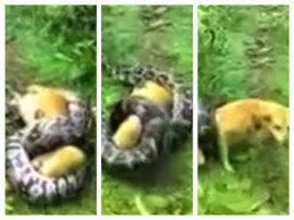 A man in Karnataka, India, found his pet dog totally immobilized in the clutches of a large python. Knowing the dog would be slowly crushed to death, the brave man […]