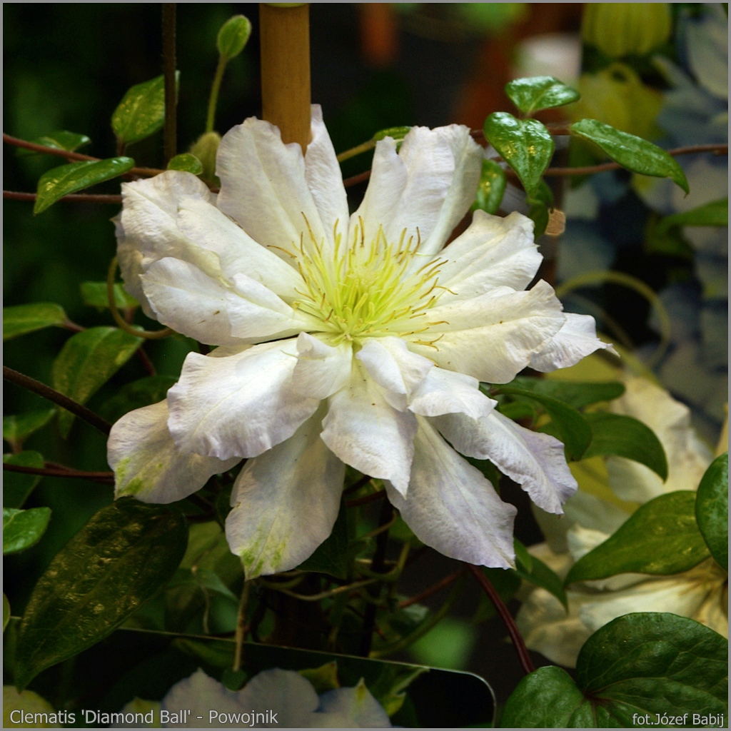 Clematis 'Diamond Ball' - Powojnik 'Diamond Ball'