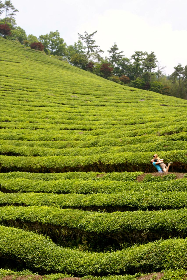 Boseong Green Tea Fields