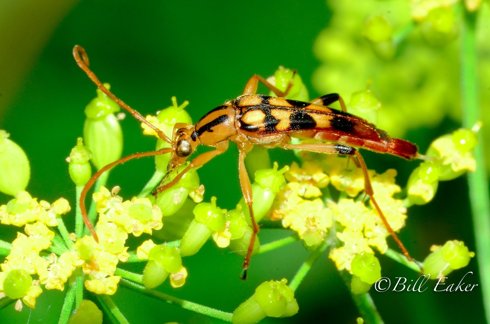 Flower Longhorn Beetles | Living With Insects Blog